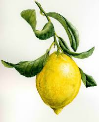 Lemon (Citrus limon)
